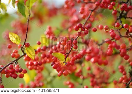 Small Red Paradise Apples On A Tree Branch On Fall Day. Autumn Fruits, Harvest And Harvesting Concep