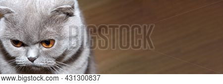 Panoramic Banner Of Scottish Short-haired Lop-eared Cat With Grey Fur Sits And Looks Down Thoughtful