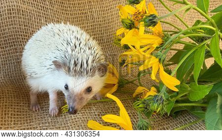 Little Hedgehog Sniffing Yellow Flowers On Burlap Background