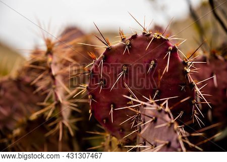 Deep Colors Of Purple-tinged Prickly Pear Cactus In Big Bend National Park