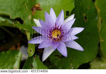 Close Up Of Blooming Blue Water Lily Flower Seen In Martinique Island, French West Indies.