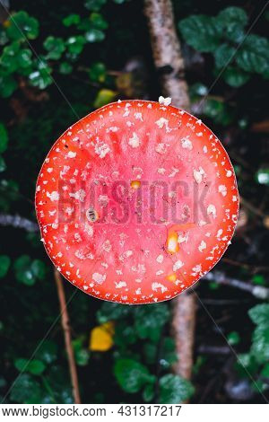Amanita Muscaria, Commonly Known As The Red Fly Agaric. Toxic And Hallucinogen Mushroom Fly Agaric I