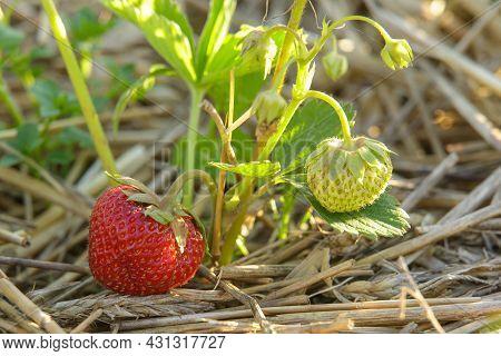Sweet Red Strawberries Growing On Organic Strawberry Farm Field In Summer. Strawberries Harvest. Agr