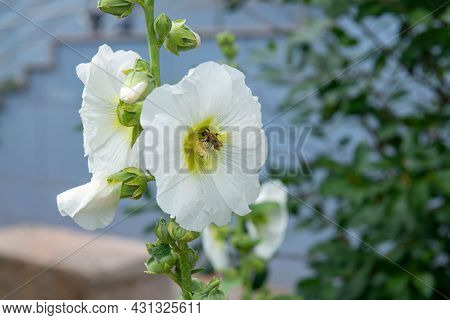Beautiful White Mallow Blooms With A Bee