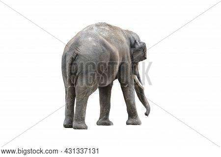 Elephant Back Close Up. Big Grey Elephant From Behind Isolated On White Background. Standing Elephan