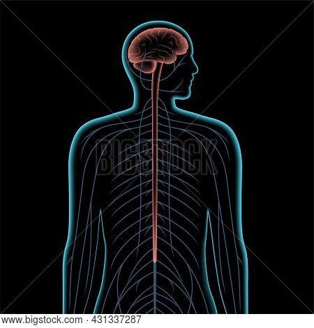 Central Nervous System 3d Realistic Vector Illustration. Nerves Send Electrical Signals To And From