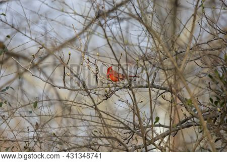 Male Northern Cardinal (cardinalis Cardinalis), With Its Crest Up, Looking Around From Its Perch In