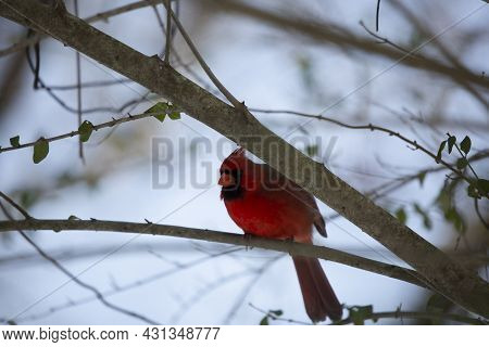 Male Northern Cardinal (cardinalis Cardinalis), With Its Crest Up, Preparing To Take Flight From A T