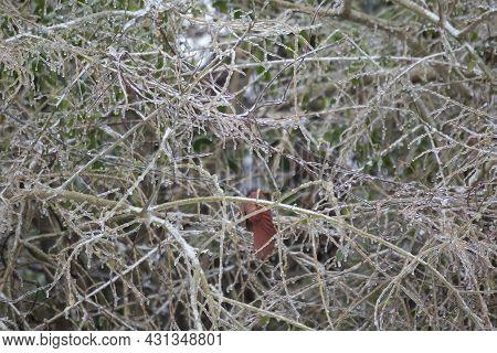 Male Cardinal (cardinalis Cardinalis) Hopping Deeper Into An Ice-covered Bush