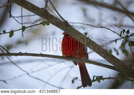Male Northern Cardinal (cardinalis Cardinalis), With Its Crest Up, Somewhat Hidden Behind A Tree Bra