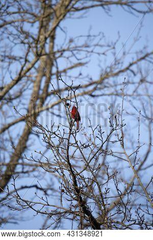 Male Northern Cardinal (cardinalis Cardinalis) On A Tree Branch