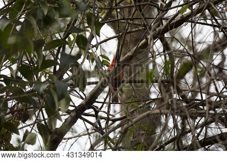 Male Northern Cardinal (cardinalis Cardinalis) Perched In A Tree