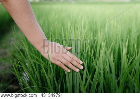 Female Hand Is Touching Rice Leaves In Agriculture Farm, Close-up Of Woman Hand Touched Fresh Rice L