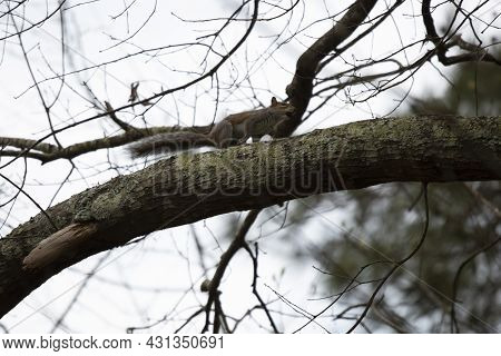 Eastern Gray Squirrel (sciurus Carolinensis) Hopping Along A Tree Limb With A Nut In Its Mouth
