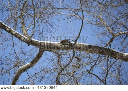 Flying Squirrel (glaucomys Volans) Leaping Along A Snow-covered Tree Limb