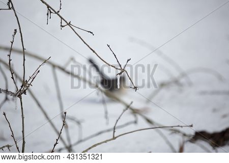 Out Of Focus Northern Mockingbird (mimus Poslyglotto) In The Snow Behind Limbs