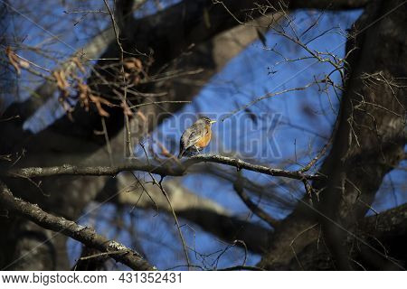American Robin () Looking Perched Majestically On A Tree Limb