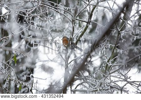 Majestic American Robin (turdus Migratorius) Looking Out From Its Perch On An Icy Tree Branch