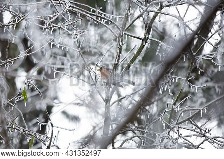 Majestic American Robin (turdus Migratorius) Chirping As It Looks Out From Its Perch On An Icy Tree