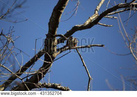 American Robin (turdus Migratorius) Facing Away From A Tree Limb