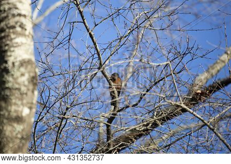American Robin (turdus Migratorius) Sharpening Its Beak On A Tree Branch