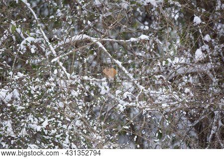 American Robin (turdus Migratorius) Landing On A Snow-covered Bush