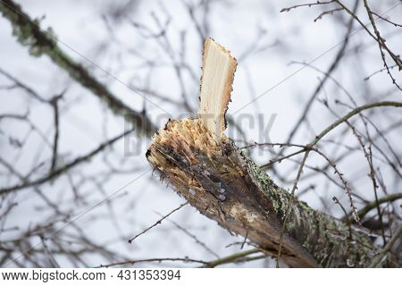 Freshly Splintered Tree Limb Against A Gray Sky