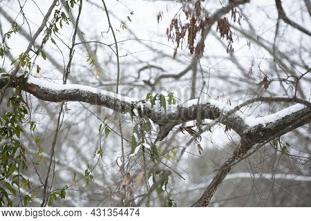 Snow Covering Tree Limbs On A Cold Day