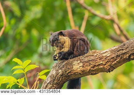 An Indian Giant Squirrel Also Known As Malabar Squirrel Or Giant Squirrel Siting On A Tree Branch Wi