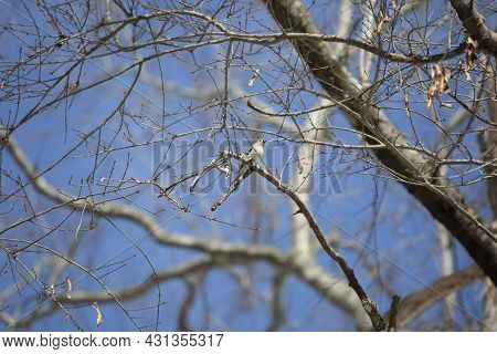 Tufted-titmouse (baeolophus Bicolor) Looking Out Majestically From Its Perch On A Bare Branch