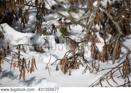 White-throated Sparrow (zonotrichia Albicollis) Looking Out From Its Perch On A Fallen Tree Limb On