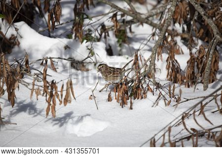 White-throated Sparrow (zonotrichia Albicollis) Foraging From Its Perch On A Fallen Tree Limb On A S