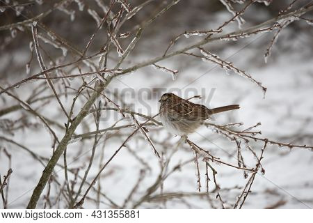 White-throated Sparrow (zonotrichia Albicollis) Perched On An Ice-covered Fallen Tree Limb