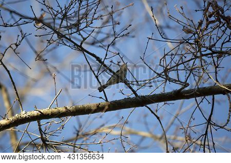 Majestic Yellow-rumped Warbler (setophaga Coronata) Looking Up From Its Perch On A Tree