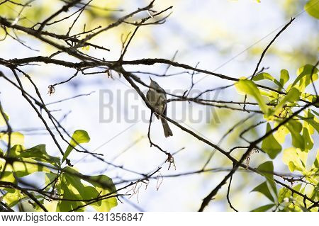 Blue-gray Gnatcatcher (polioptila Caerulea) Looking Up Majestically From A Tree