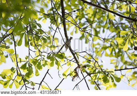 Blue-gray Gnatcatcher (polioptila Caerulea) Looking Out Majestically As It Forages On A Tree