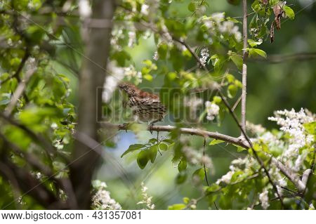 Brown Thrasher (toxostoma Rufum) Foraging Perched On A Limb