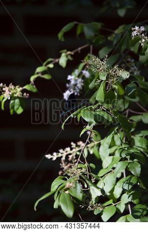 Ebony Jewelwings (calopteryx Maculata) Perched On A Bush Limb