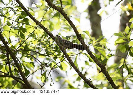 Gray Catbird (dumetella Carolinensis) Looking Around From Its Perch On A Tree Limb