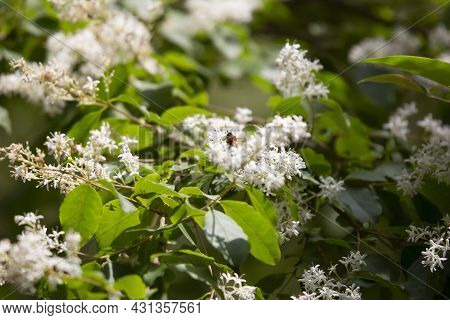 Honeybee (apis) Pollinating White Blooms On A Plant