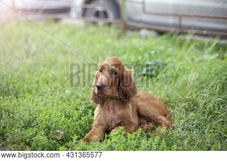 Young Three Month Old Irish Setter Puppy Close-up In The Grass On The Street.