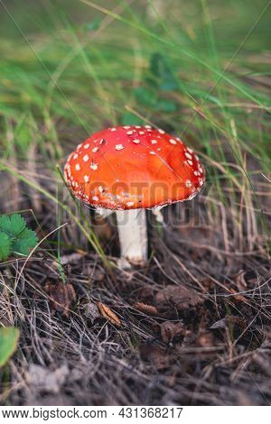 An Inedible Mushroom Is A Red Fly Agaric Near A Tree. Forest Poisonous Mushroom Red Fly Agaric. Beau