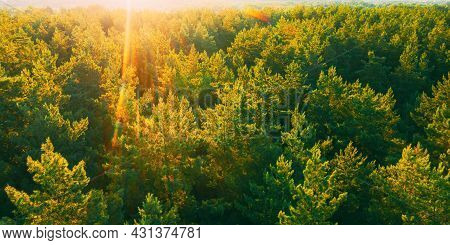 Aerial View Of Green Pine Coniferous Forest In Landscape In Spring. Top View Of European Woods At Sp