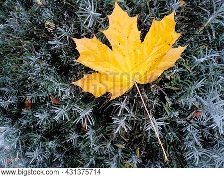 Close-up Yellow Maple Leaf Lies On Spruce Bush With Copy Space. Autumn Concept. Multicolored Leaf Ag