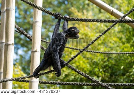 The Black-headed Spider Monkey, Ateles Fusciceps Is A Species Of Spider Monkey, A Type Of New World