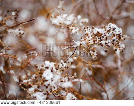Snow Flakes On Shrub, Closeup With Bokeh Background. Frozen Bush With Hoar Frost And Snow At The Cit