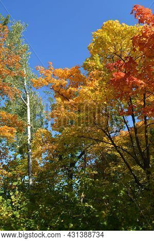 Colorful Autumn View. Maple Trees With Red, Yellow And Orange Foliage. Aspen With Green Leaves. Brig