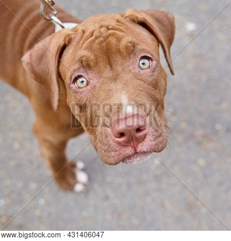 Close Up Of Young And Obedient American Pitbull Terrier On Leash Seriously Looking At Camera With Cu