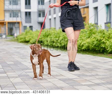 Emotional Support Brown Americal Pitbull Terrier On Red Leash Walking Down Street With Anonymous Fem
