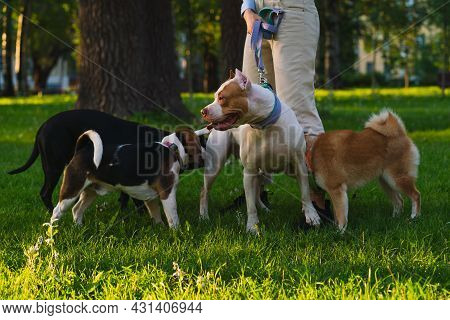 Horizontal Of Faceless Woman Training American Pitbull Terrier Puppy On Grass In Park At Sunset. Get